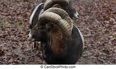 Two Mouflons - A pair of mouflons sheep standing on autumnal...