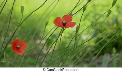 Two Poppy Flowers in Wind - Poppy flowers and other flower...