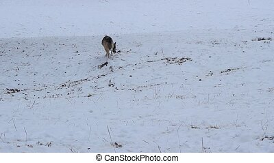 Winter Dog Sniffing on Nature - On winter landscape a dog is...