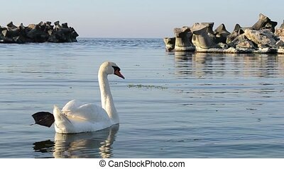 White Swan in a Sea Golf - A white swan came in a sea gulf,...