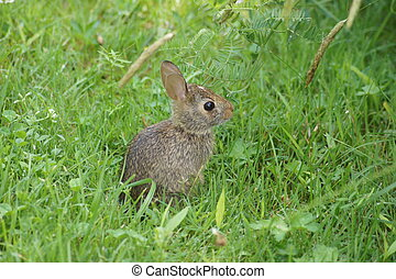 Baby bunny in the grass. - Isolated brown wild baby bunny in...