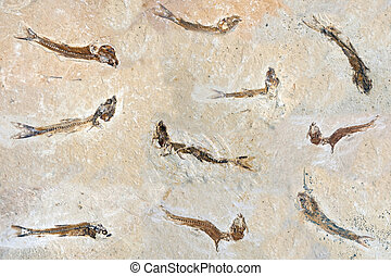 Fish Fossils 60 million years old - 60 million years old...