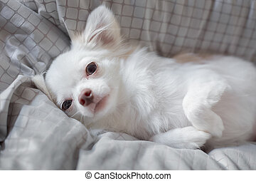 White Chihuahua be innocent on a bed. It is awakening in...