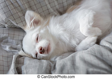 White Chihuahua be innocent on a bed It is awakening in...