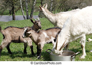 Goat farm - Photo of four goats, which are eating on bio...