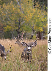 Mule deer in aspen - A large mule deer buck standing in a...