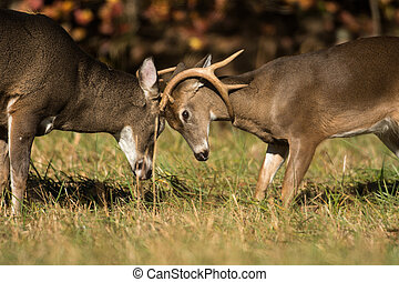 White-tailed deer bucks - Two white-tailed deer - one large...