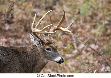 Large white-tailed deer buck in the woods in Smoky Mountain...