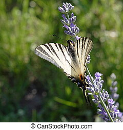 Scarce Swallowtail on the branch of lavender - photograph is...