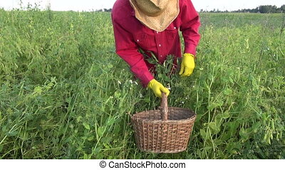 farmer harvesting fresh pea pods - farmer picking harvesting...