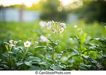 blossom potato plant