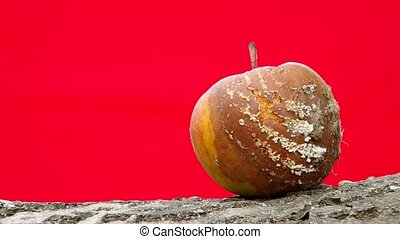 Rotten apple on red background - Rotten and moldy fruit,...