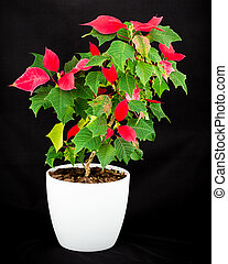 Christmas star flowerpot on black background