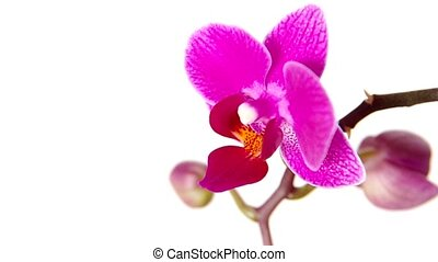 Orchid on white background - Orchid flower on white...