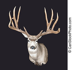 Trophy Whitetail Deer mount on a blackground.