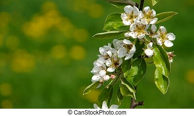Blooming branch of pear tree