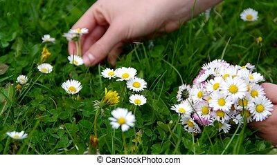Collecting bouquets of daisies,  on a meadow in spring