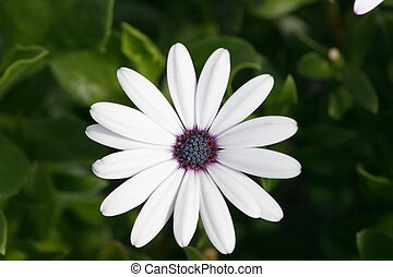 daisy (Leucanthemum vulgare) - Close-up of a white-flowered...