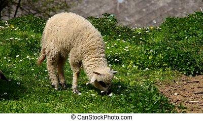 Sheep graze - Sheep grazing on green meadow
