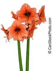 Blooming orange Amaryllis in various states over a white...