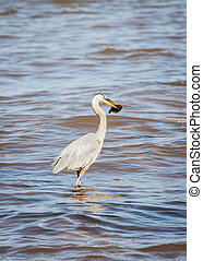 Great Blue Heron in water with fish