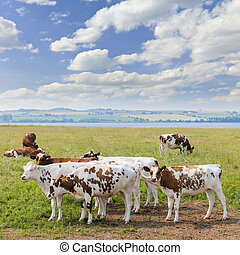 Cows in pasture - Herd of Ayrshire cows grazing on fresh...