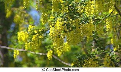 Golden Rain - Laburnum anagyroides - waving in wind
