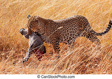 Female leopard in Masai Mara - Female leopard walking in...