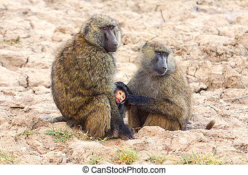 Mother and baby baboons - Baby baboon hugging his mother,...