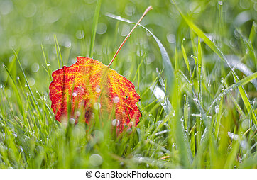 blur colorful autumn aspen tree leaf in dewy grass