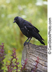 Jackdaw Corvus monedula - Jackdaw Corvus monedula perched on...
