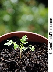 Maskotka cherry tomato seedling - Maskotka cherry tomato...
