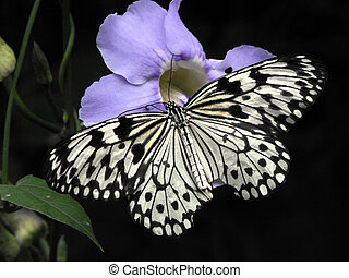 Paper Kite (Idea leuconoe) butterfly feeding