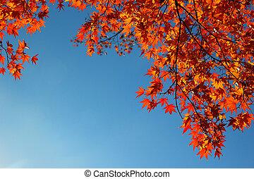 Momiji - Japanese maple tree leaves ( momiji ) background