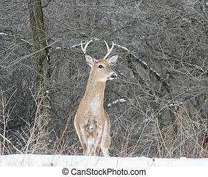 Piebald Whitetail Deer Buck standing in a woods