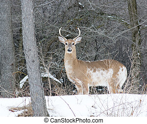 Piebald Whitetail Deer Buck standing in a woods.