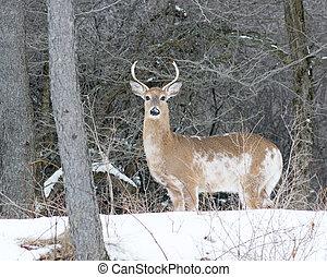 Piebald Whitetail Deer Buck standing in a woods.