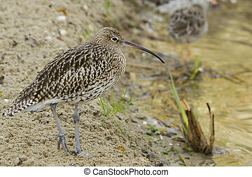 Curlew - A beautiful Curlew closeup standing at rest