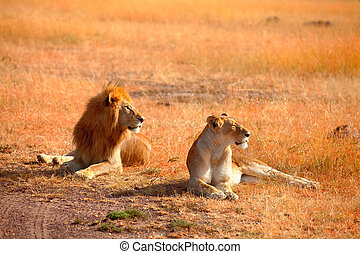 Mating lions in Masai Mara, Kenya during the dry season