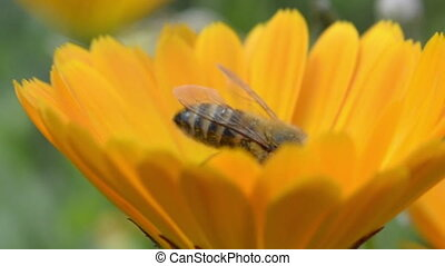 Bee on the yellow flower, close-up