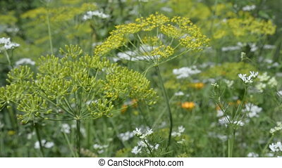 Dill flowers in the summer garden