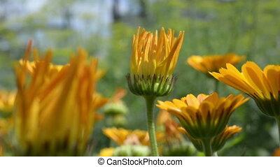 Calendula Yellow wild flowers in the garden