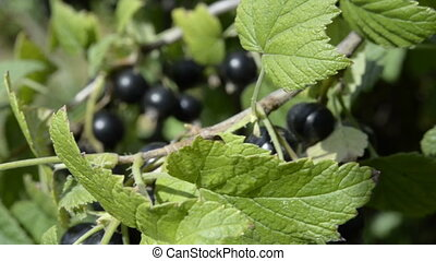 Black Currant berries grow in the garden