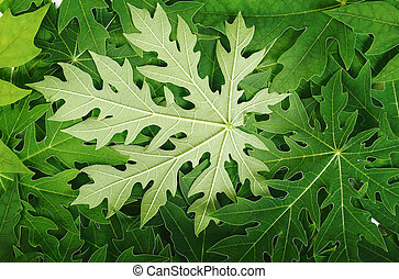 papaya leaf background