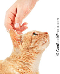 Domestic cat with human hand