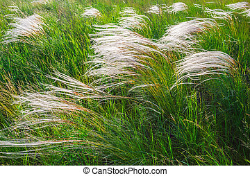Feather grass at sunset in the field - Feather grass in wind...