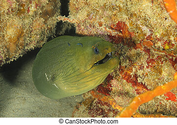 Green Moray (Gymnothorax funebris) - Roatan - Green Moray...