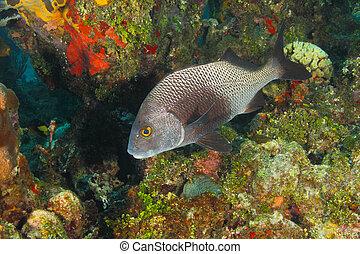 czarnoskóry, Margate, Na, à, koral, rafa, -,...