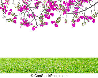 Pink Bougainvillea flower and green grass on white...