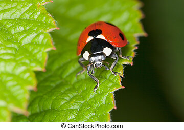 Red ladybird sits on green sheet of a plant